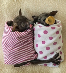 Two orphan baby bats, wrapped up in coloured blankets, one bat hugs the other and one is dozing with a teat in its mouth.