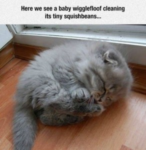 Fluffiest grey kitten, cleaning his paws. Text: 'Here we see a tiny wigglefloof cleaning his tiny squishbeans'