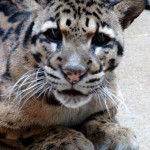 Clouded Leopard Close Up